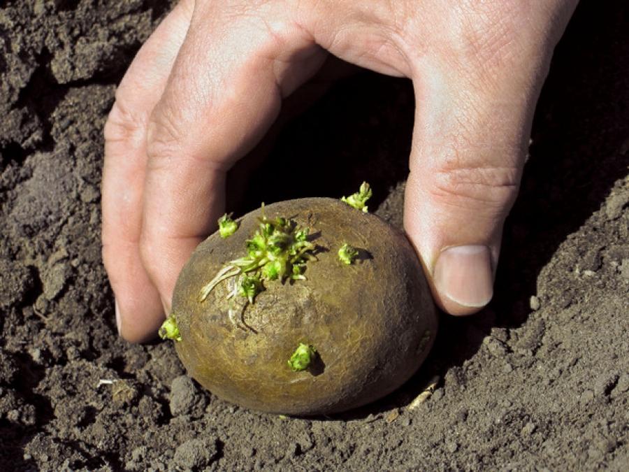 Посадка картофеля по Миттлайдеру
