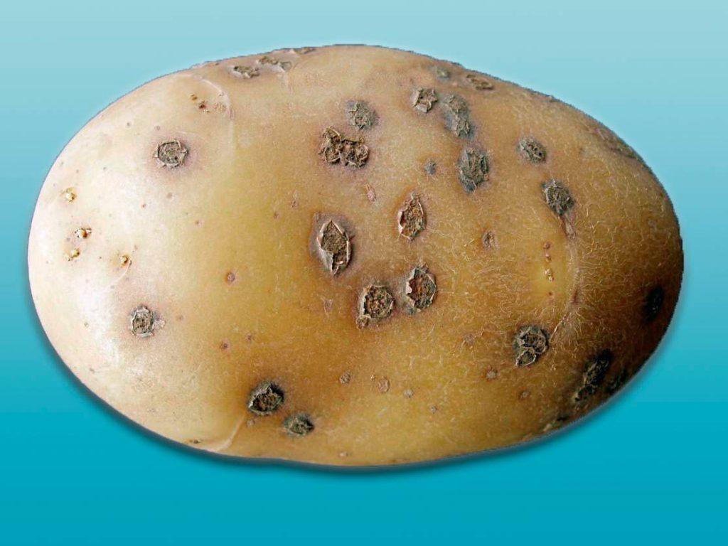 Порошистая парша картофеля