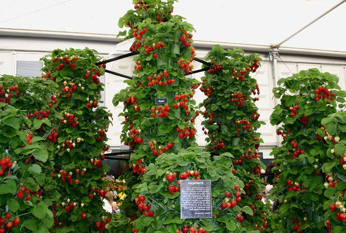 Вертикальное выращивание ягоды
