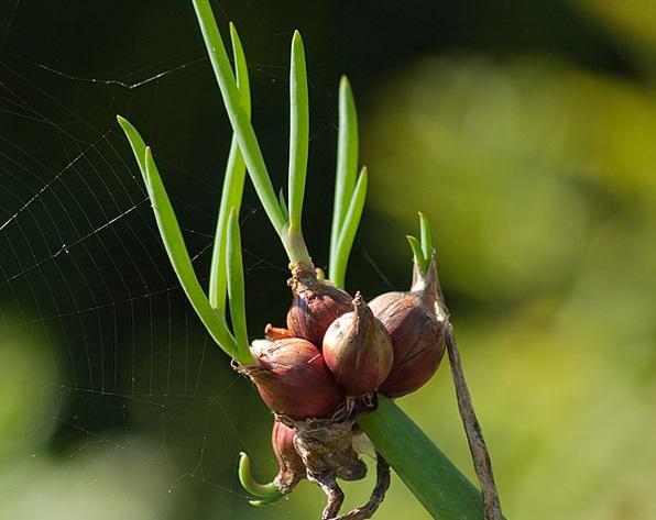 Луковицы многоярусного лука