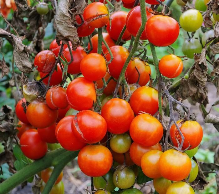 """Сорт помидора """"Клубничное дерево"""""""