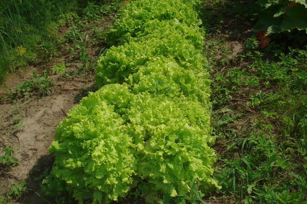 Латук, растущий на огороде