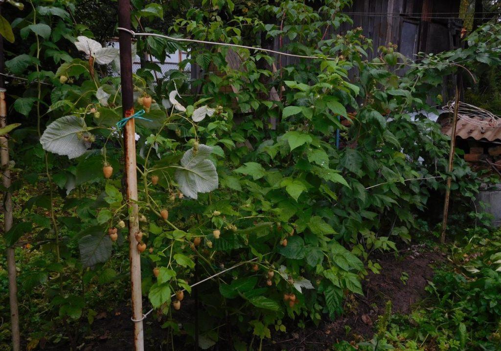Подвязанная малина в саду