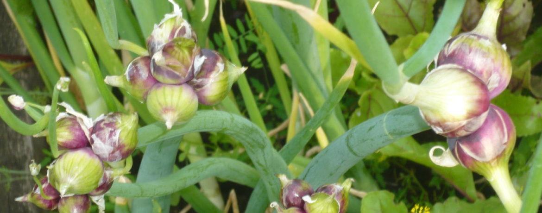 Многоярусный лук на огороде