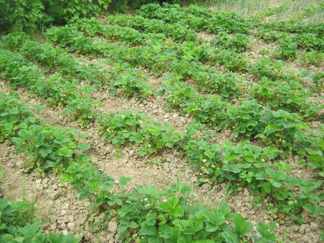 Посадка ягоды на хорошо освещенном и проветриваемом месте