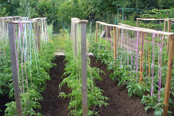 Подвязанные помидоры на шпалере