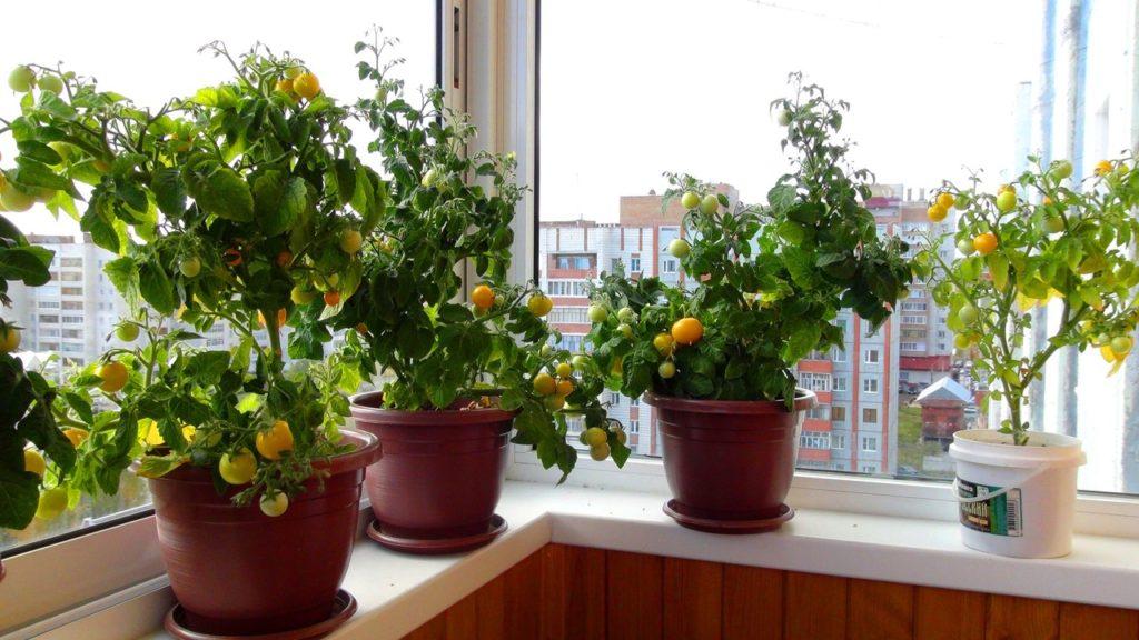 Помидоры сорта Черри на балконе