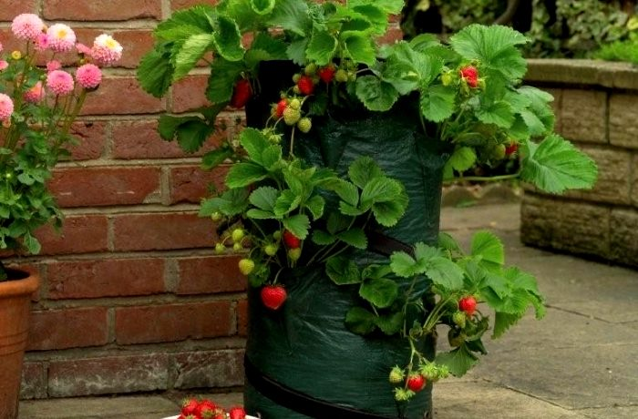 Выращивание клубники голландским способом в мешках