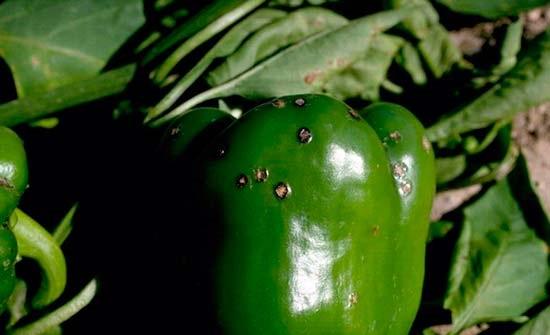 Чёрная бактериальная пятнистость перца
