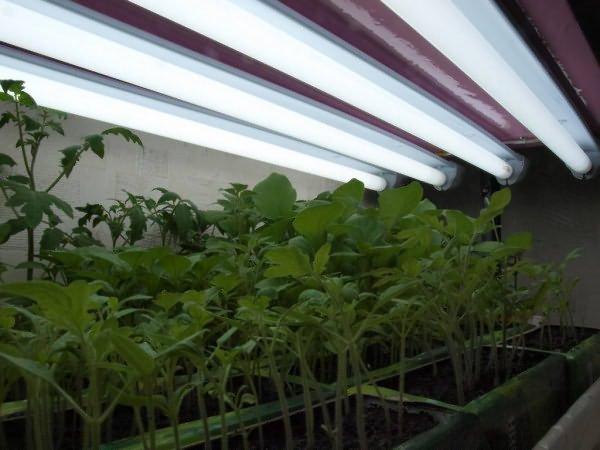 Дополнительная подсветка рассады помидор