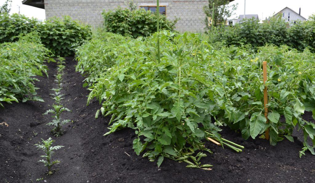 Окученные кусты томатов