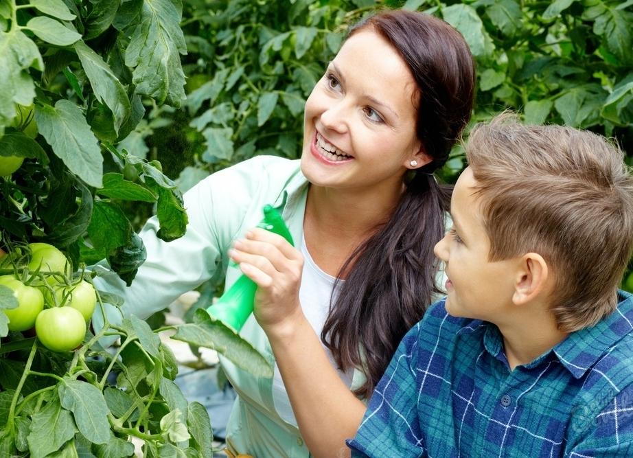 Опрыскивание томатов молочной сывороткой