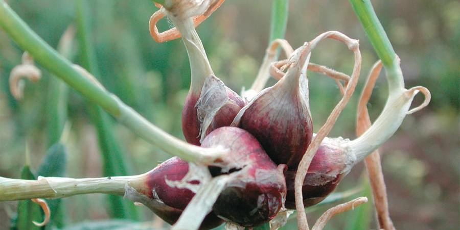 Многоярусный лук: описание, характеристики, посадка и уход