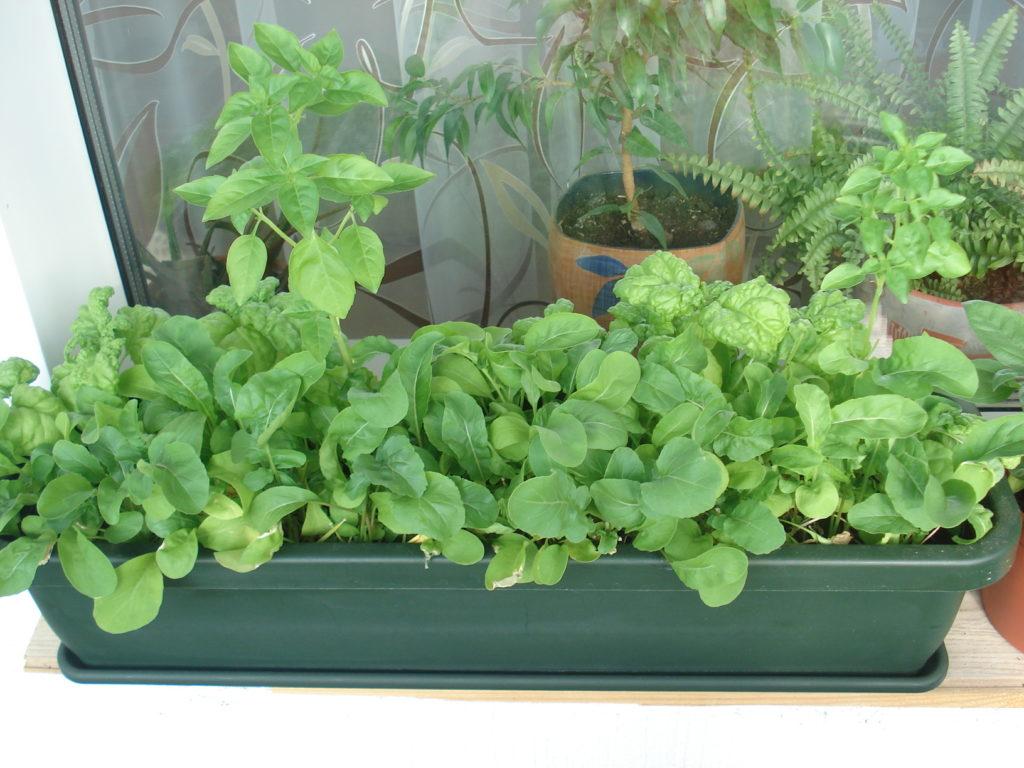 Выращивание зелени в домашних условиях