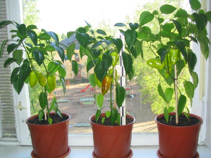 Перец, растущий в горшке на подоконнике
