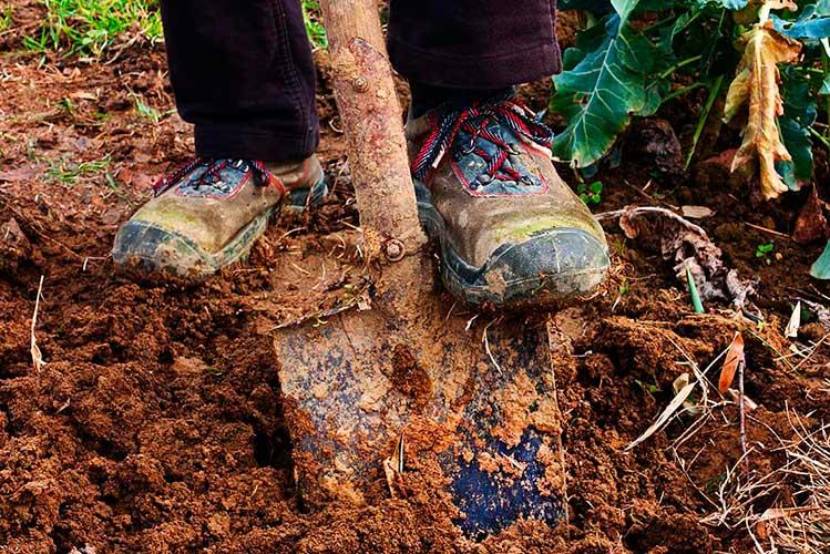 Перекапывание малинника лопатой