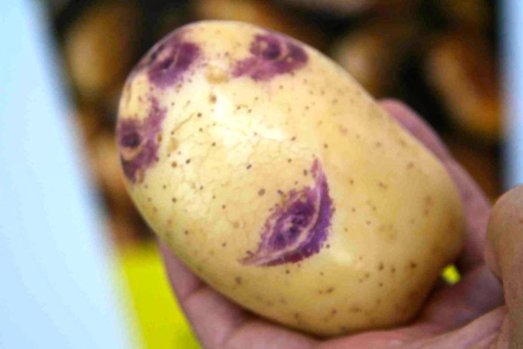 Плод картофеля сорта Синеглазка
