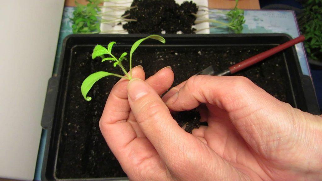 Пикирование рассады помидоров