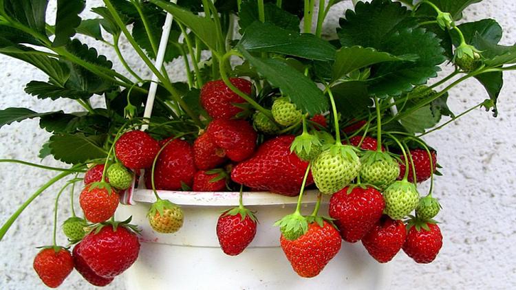 Выращивание ягод ампельной клубники на подоконнике