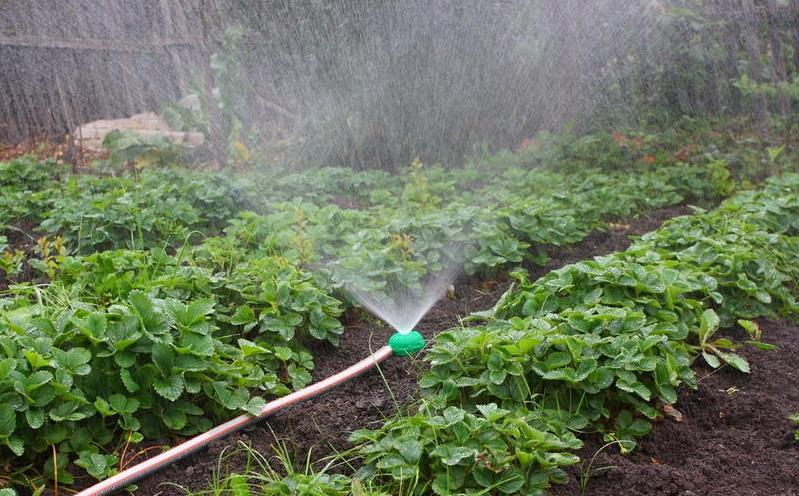Процесс полива клубники