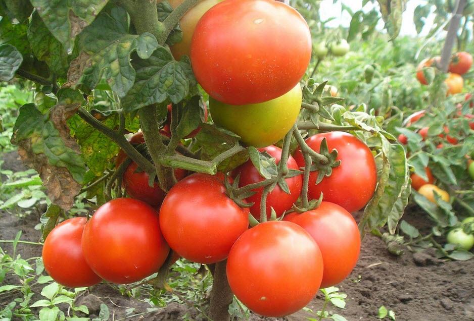 Сорт томатов для теплицы Magus H