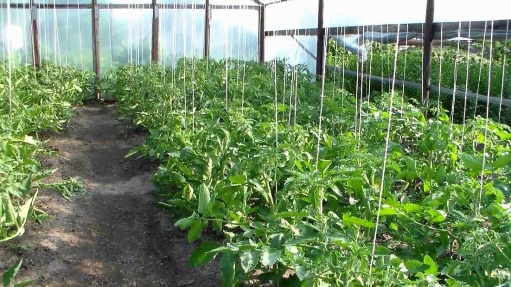 Линейный способ подвязывания томатов