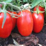 Созревшие томаты на ветке