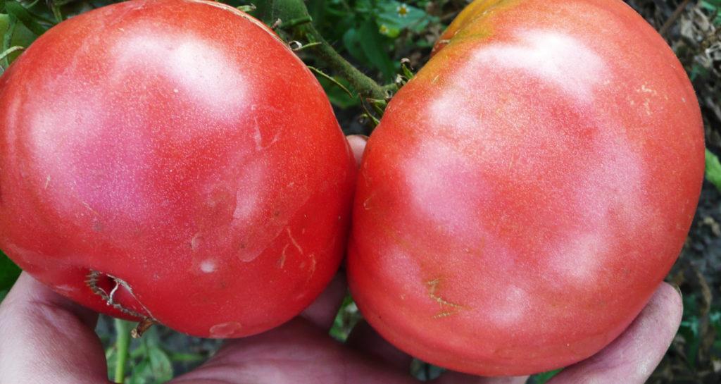 Плоды томата Розовый король в руках