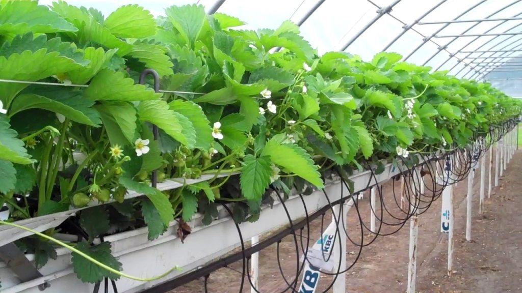 Выращивание ягод с помощью гидропоники