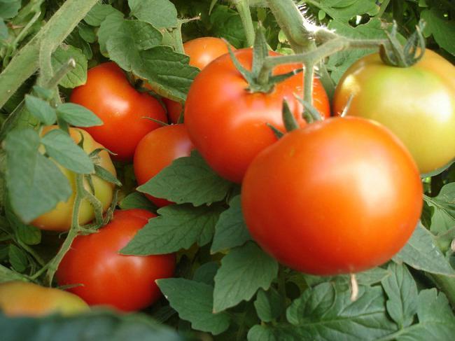 Сорт томата Северенок на огороде