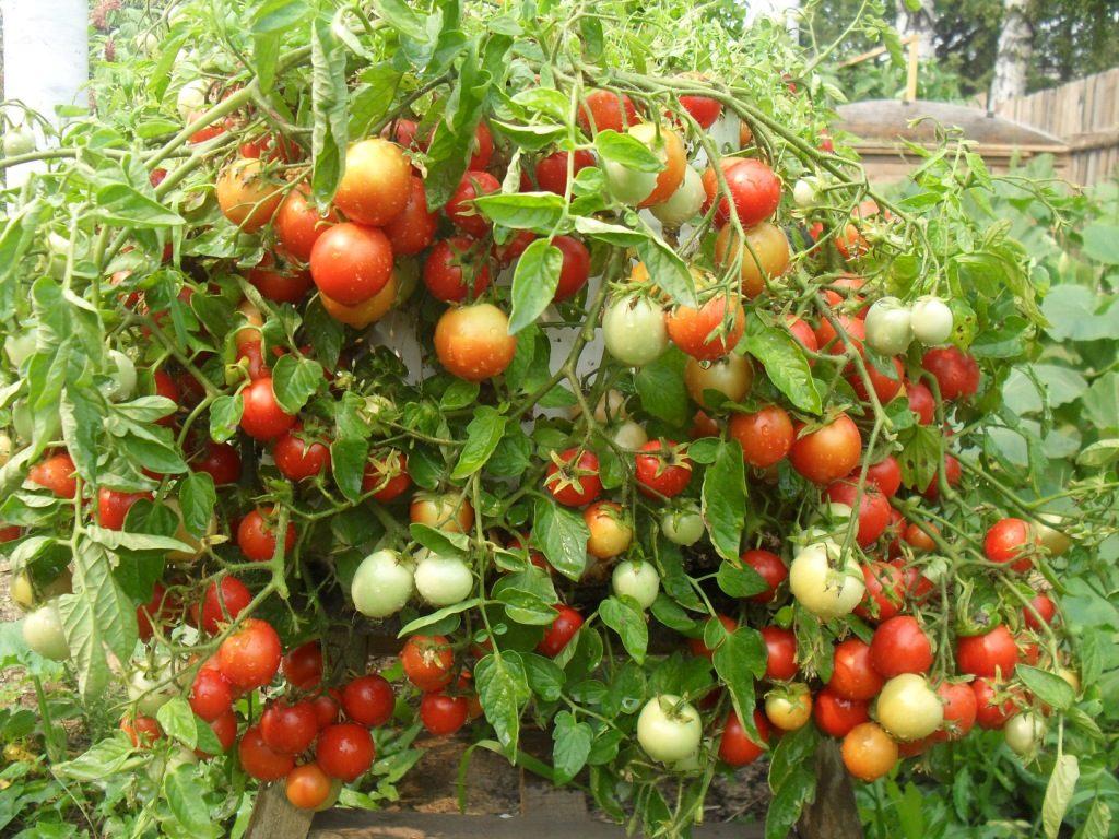 Томаты Талисман, растущие на огороде