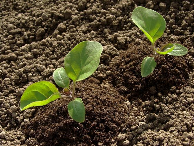 Баклажан Вера - универсальный сорт для выращивания в условиях открытого грунта и в теплицах