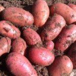 Свежевыкопанная красная картошка на огороде