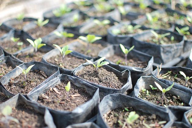 Рассада баклажанов в домашних условиях: правильное выращивание и уход