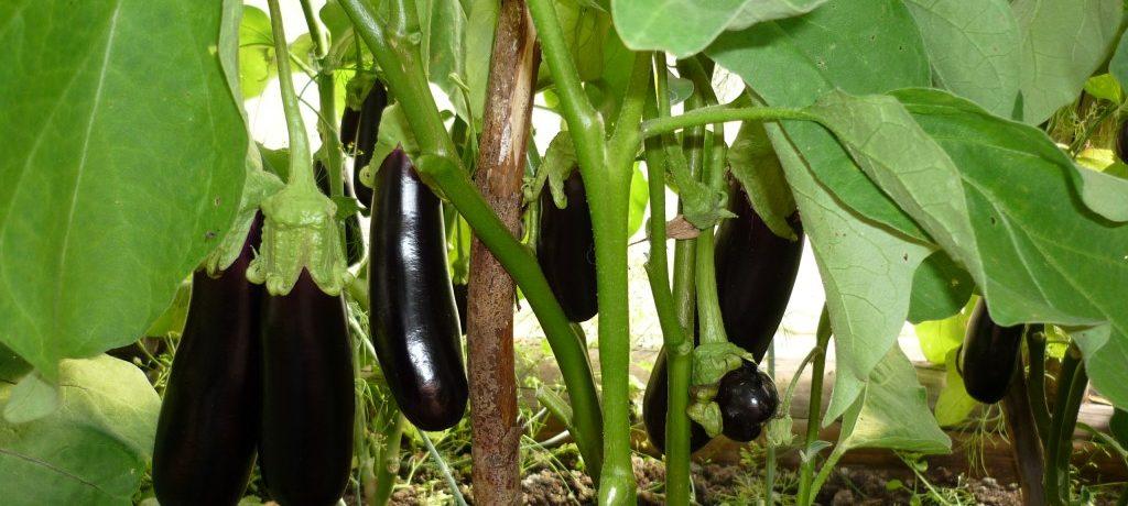 Тепличное выращивание баклажан