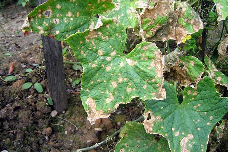 Болезнь огурцов (антракноз) проявляется пятнами на листьях