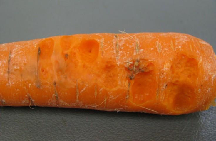 Бактериоз - болезнь моркови
