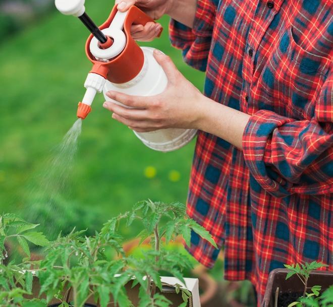 Опрыскивание томатов раствором золы