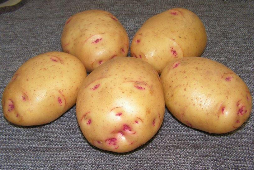 Аноста - сорт желтого картофеля