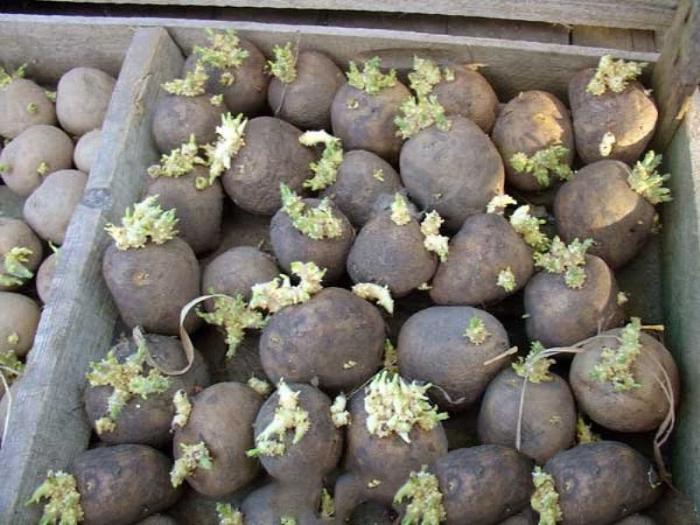 Клубни картофеля на посадку