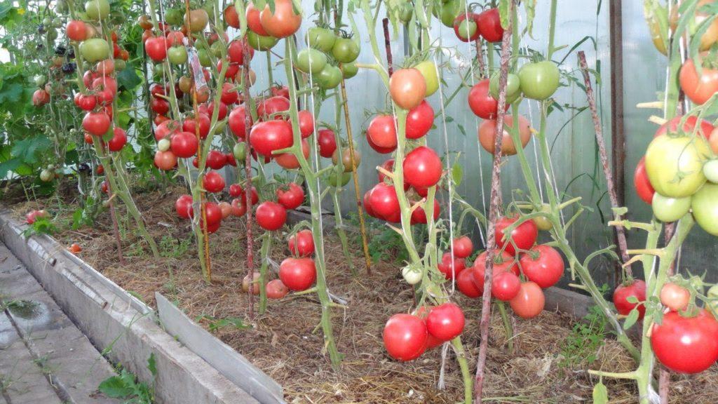 Сорт помидоров Малиновое чудо