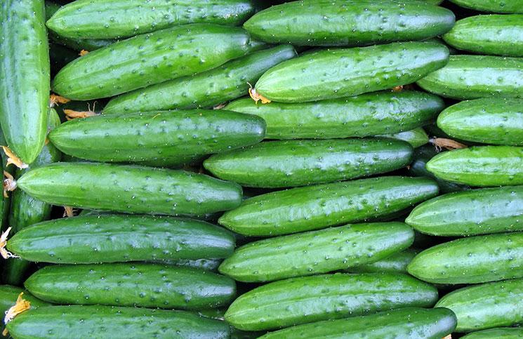 Урожай сорта огурцов Деликатесный