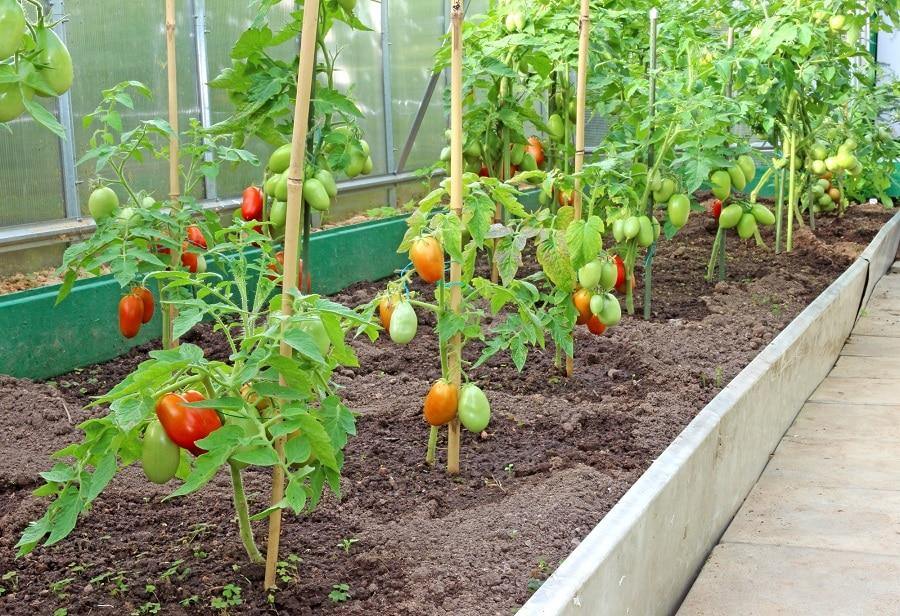 Подвязывание томатов на колья