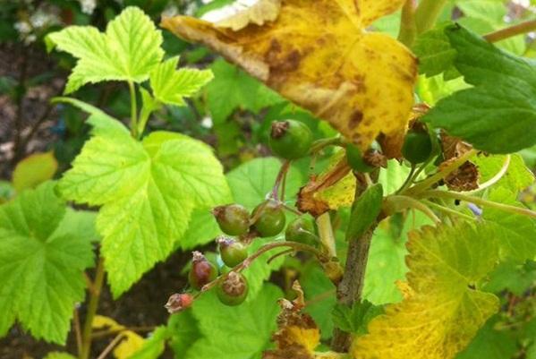 Пожелтевшие листья смородины