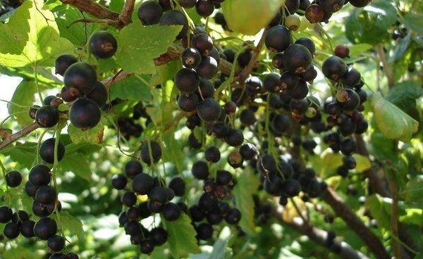 Смородина Титания: история, характеристика, описание полезных свойств шведского сорта