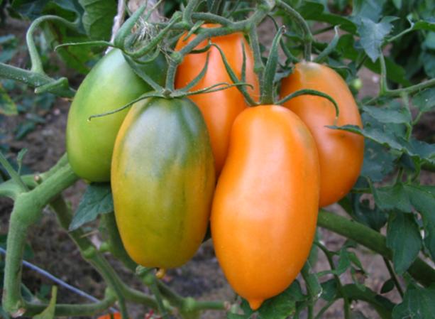 Куст томатов сорта Кенигсберг