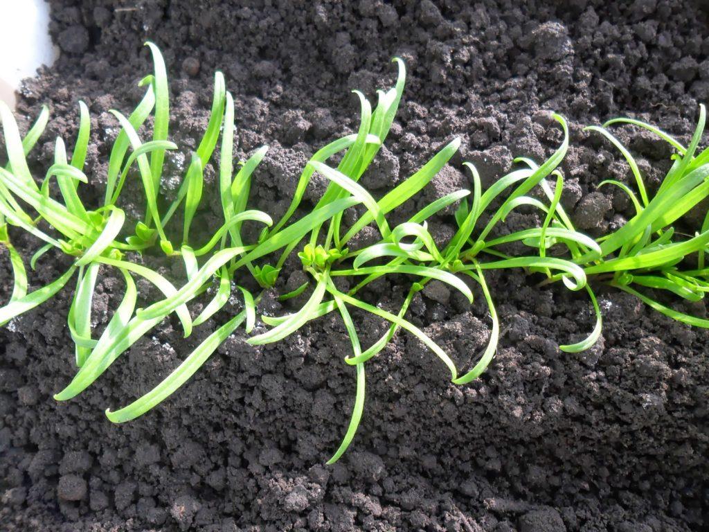 Рассада шпината в отрытом грунте - первые всходы