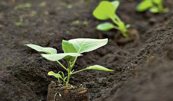 Сорт баклажана Алмаз: основы выращивания, посадки и ухода, характеристика и описание сорта