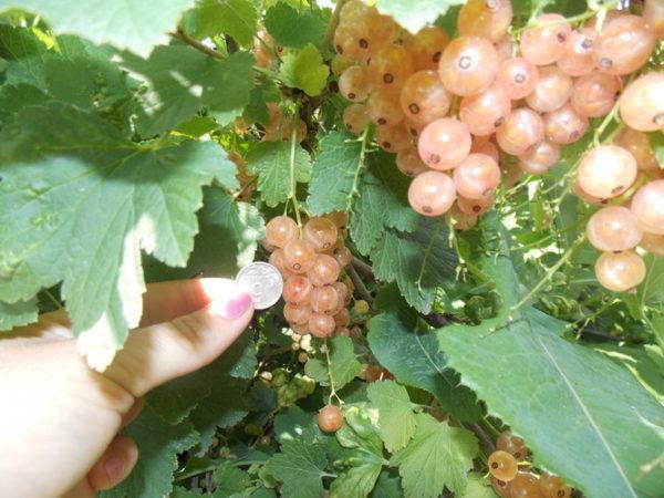 Размер ягод белой смородины