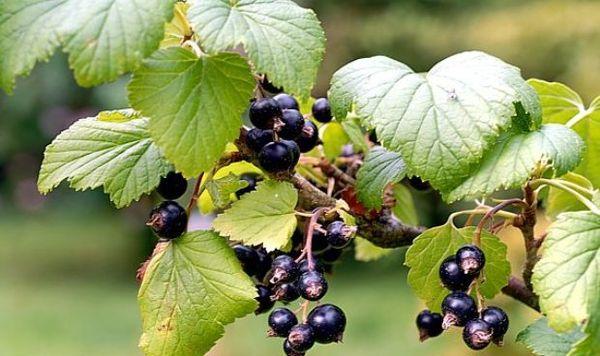 Сорта черной смородины с крупными ягодами: обзор по урожайности и срокам созревания
